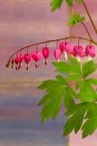 Le défenseur de la veuve et de l'orphelin fleurit (Dicentra Spectabils) l'amour de fleur de lyre il Image stock