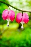 Le défenseur de la veuve et de l'orphelin fleurit (les spectabils de Dicentra) Photo stock