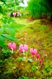Le défenseur de la veuve et de l'orphelin fleurit (les spectabils de Dicentra) Photo libre de droits