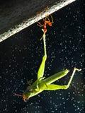 Le dégagement de fourmi est la nourriture, photo libre de droits