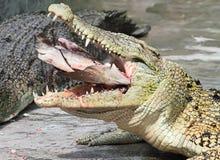 Le déjeuner du crocodile photo libre de droits