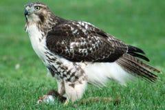 Le déjeuner du faucon Image libre de droits