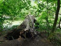 Le délabrement de l'arbre Image libre de droits