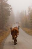 Le déplacement de la vache Photos stock