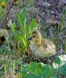 Le déplacement par l'herbe peut être non facile Photographie stock libre de droits
