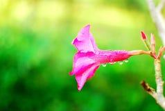 Le désert rose s'est levé Photo stock