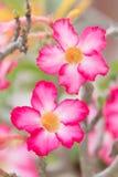 Le désert rose s'est levé image stock