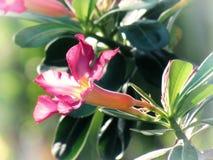 Le désert s'est levé, le lis d'impala, fausse azalée, sur un arbre dans le jardin Type de cru Image libre de droits
