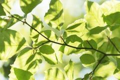 Le détail abstrait du vert part au printemps et été photographie stock libre de droits