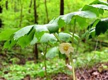 Le détail d'une fleur et d'un vert de mayapple laisse l'élevage dans une forêt de ressort Images libres de droits
