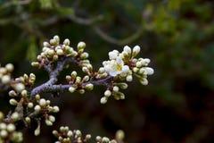 Le détail de l'émergence fleurit au printemps sur un arbre de bonsaïs de prunellier de Shohin Images stock