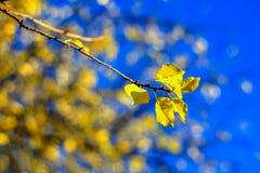 Le détail du jaune part sur le soleil avec le ciel bleu Photographie stock libre de droits