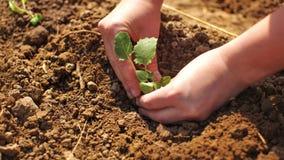 Le détail sur la femme remet planter la jeune plante de jeune usine dans le gro humide photo stock