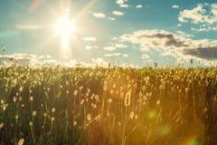 Le détail vert de champ avec le ciel bleu opacifie le backgrund et le soleil en été Photos stock