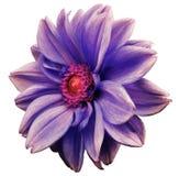 le dahlia blanc violet de fleur, blanc a isolé le fond avec le chemin de coupure closeup Aucune ombres centre cramoisi-rouge Vue  illustration de vecteur