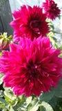 Le dahlia de Bourgogne est une fleur, est célèbre pour sa beauté, passion d'émois et choses folles de poussées Image libre de droits