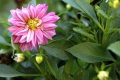 Le dahlia est en fleur Photographie stock libre de droits