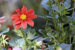 Le dahlia est en fleur Photo libre de droits