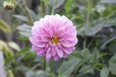 Le dahlia est un genre des plantes vivaces touffues, tubéreuses, herbacées indigènes au Mexique Image libre de droits
