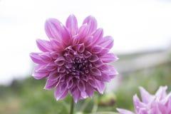 Le dahlia est un genre des plantes vivaces touffues, tubéreuses, herbacées indigènes au Mexique Photo stock