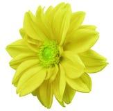 Le dahlia jaune de fleur, blanc a isolé le fond avec le chemin de coupure closeup Aucune ombres centre vert Vue de côté Pour la c illustration stock