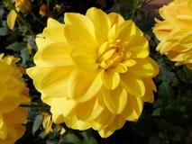 Le dahlia le plus jaune Images stock