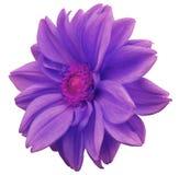 le dahlia Pourpre-bleu de fleur, blanc a isolé le fond avec le chemin de coupure closeup Aucune ombres Centre rose Vue de côté Po illustration stock