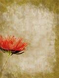 Le dahlia rose a donné une consistance rugueuse Photos stock