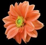 Le dahlia rouge de fleur, noircissent le fond d'isolement avec le chemin de coupure closeup Aucune ombres centre vert jaunâtre Vu illustration stock