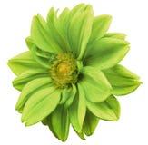 Le dahlia vert de fleur, blanc a isolé le fond avec le chemin de coupure closeup Aucune ombres Centre jaune Vue de côté Pour la c illustration libre de droits