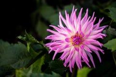 Le dalie del cactus hanno nominato il 'Violetta' Immagine Stock