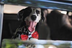Le Dalmate de chien dans un noeud papillon rouge regarde la fenêtre de la voiture Photographie stock