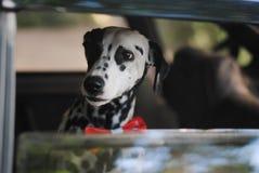 Le Dalmate de chien dans un noeud papillon rouge regarde la fenêtre de la voiture Image stock