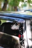 Le Dalmate de chien dans un noeud papillon rouge regarde la fenêtre de la voiture Image libre de droits