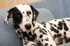 Le Dalmate de chien se trouve sur un sofa bleu Photographie stock libre de droits