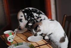 Le Dalmate pelucheux blanc de chat et de chien lèchent les plats sur la table Images stock