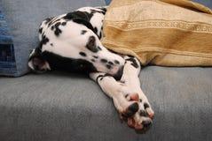 Le Dalmate triste ou somnolent de chien se trouve sur un sofa bleu Photo libre de droits