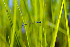 Le damselfly bleu-coupé la queue (elegans d'Ischnura) Image stock