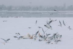 Le Danube congelé avec la consommation de cygnes et de mouettes images stock
