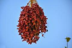 Le date mature ragruppano pendere da un albero della palma da datteri fotografie stock libere da diritti