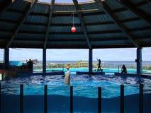 Le dauphin équilibre la bille sur le nez dans le réservoir d'eau Image stock