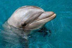 Le dauphin de Bottlenose de Yong nage en Mer Rouge Images libres de droits