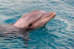 Le dauphin de Bottlenose de Yong nage en Mer Rouge Photographie stock libre de droits