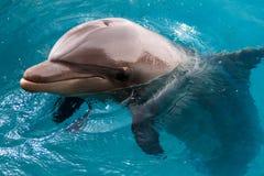 Le dauphin de Bottlenose de Yong nage en Mer Rouge Image libre de droits