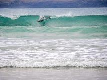 Le dauphin de Hector surfant dans la vague photos libres de droits