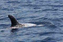 Le dauphin de Risso Photo libre de droits