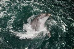 Le dauphin heureux nage dans l'eau bleue Image stock