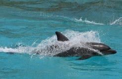 le dauphin jeûnent Images libres de droits