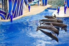 Le dauphin sautant dans l'exposition color?e de jour de dauphin ; C'est une c?l?bration de f?te de notre monde naturel chez Seawo photo libre de droits