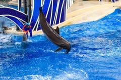 Le dauphin sautant dans l'exposition color?e de jour de dauphin ; C'est une c?l?bration de f?te de notre monde naturel chez Seawo photos libres de droits